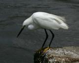 Snowy Egret - HJ2K4008