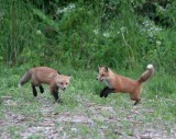 foxes_2006