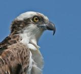 Osprey,Merritt Island