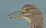 Black-crowned Night - Heron, Juvenile