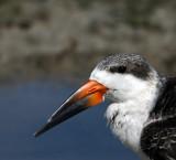 Black Skimmer , 10-10-2007 , Merritt Island