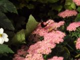 Red Admiral (I)