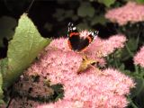 Red Admiral (II)