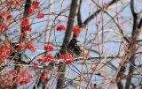 european_starling.jpg