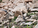 A well camouflaged  American Pika