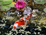 Koi in the Lily Pond