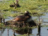 Horned Grebe on nest 2.jpg