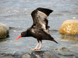 Black Oystercatcher 2.jpg