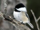 Black-capped Chickadee 19.jpg