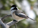 Black-capped Chickadee 4.jpg