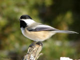 Black-capped Chickadee 1.jpg