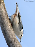 White-breasted Nuthatch 4a.jpg