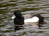 Greater Scaup Vancouver 2.JPG