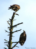 Bald Eagles 2nd year birds 2a.jpg