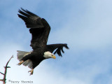 Bald Eagle taking off 2a.jpg
