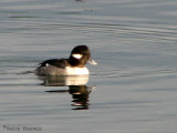 Bufflehead female 1a.jpg