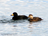Black Scoter pair 1a.jpg