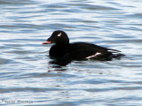 White-winged Scoter 6a.jpg