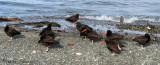Black Oystercatchers 5a.jpg
