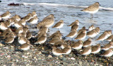 Dunlin and Black-bellied Plover 1a.jpg