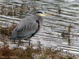 Great Blue Heron 1a.jpg