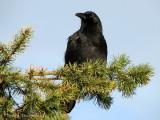 Northwestern Crow 1a.jpg