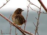 Song Sparrow - West Coast subspecies 1a.jpg