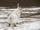 White-tailed Jackrabbit 8.jpg