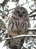 Barred Owl 2a.jpg