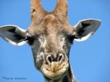 Giraffe 17 - road from Namutoni to Okaukuejo Etosha N.P.jpg