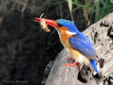 Malachite Kingfisher with a mole cricket 1a - Chobe N.P.jpg