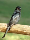Fork-tailed Drongo 1a - Chobe N.P.jpg