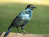 Cape Glossy Starling 2 - Chobe N.P.jpg