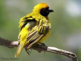 Southern Masked Weaver 1a - Okaukuejo Etosha N.P.jpg