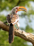 Yellow-billed Hornbill 1a - Mudumo N.P.jpg
