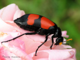 Blister Beetle - Mylabris sp. A1a - Livingstone Waterfront.jpg