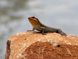 AFRICAN REPTILES AND AMPHIBIANS
