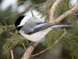 Black-capped Chickadee 28a.jpg