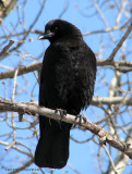 American Crow 11a.jpg