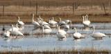 Tundra Swans 3a.jpg
