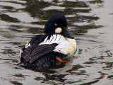 Common Goldeneye 10a.jpg