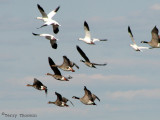 Geese in flight 2a.jpg