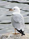Ring-billed Gull 26a.jpg