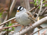 White-crowned Sparrow 2a.jpg
