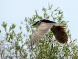 Black-crowned Night Heron in flight 3a.jpg