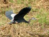 Great Blue Heron in flight 7a.jpg