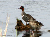 Green-winged Teal pair 1a.jpg