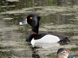 Ring-necked Duck 1a.jpg