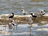 Black-bellied Plovers 1a.jpg