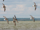 Black-bellied Plovers in flight 2a.jpg